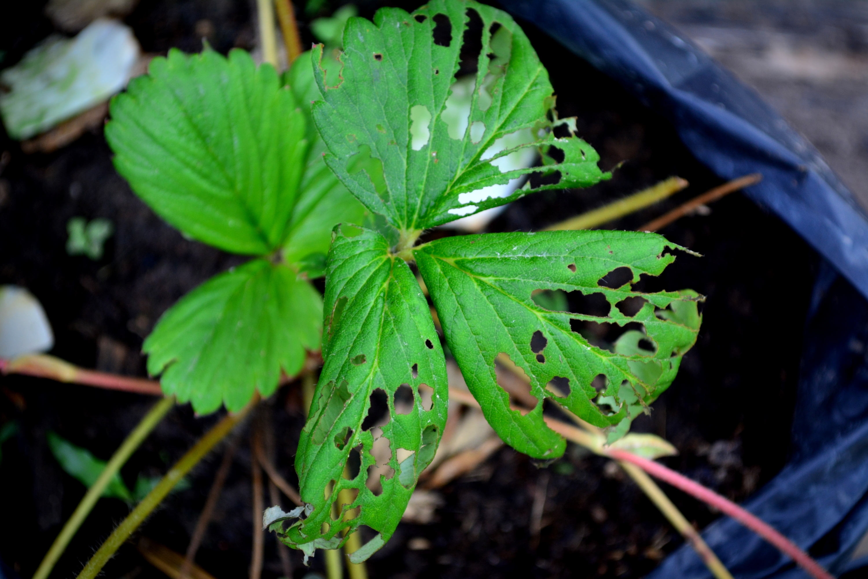 Slug damage on strawberry plant leaves.