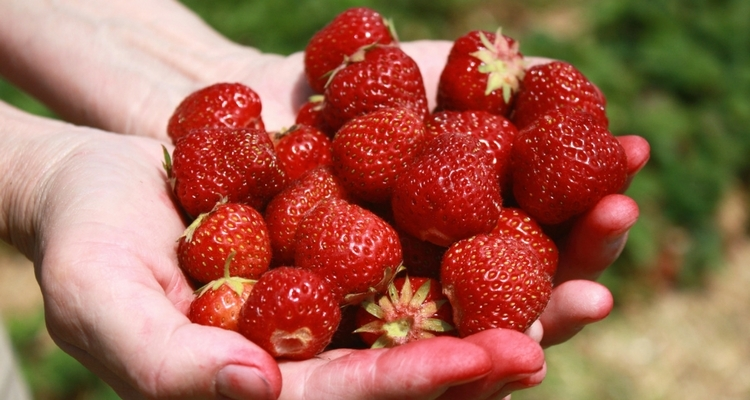 Hand picked strawberries
