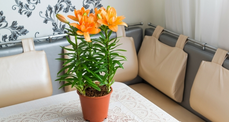 Potted orange pixie lily