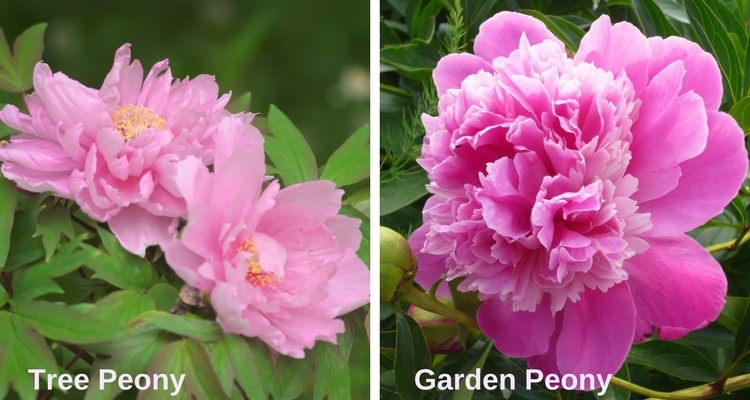 Get To Know Peonies My Garden Life