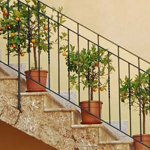 Dwarf Orange Trees in Pots on Stairs