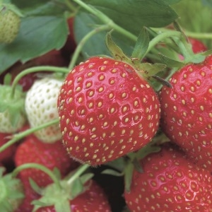 Fragaria x ananassa 'Allstar' Strawberry