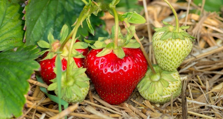Put straw around strawberry plants to discourage pests and weeds.
