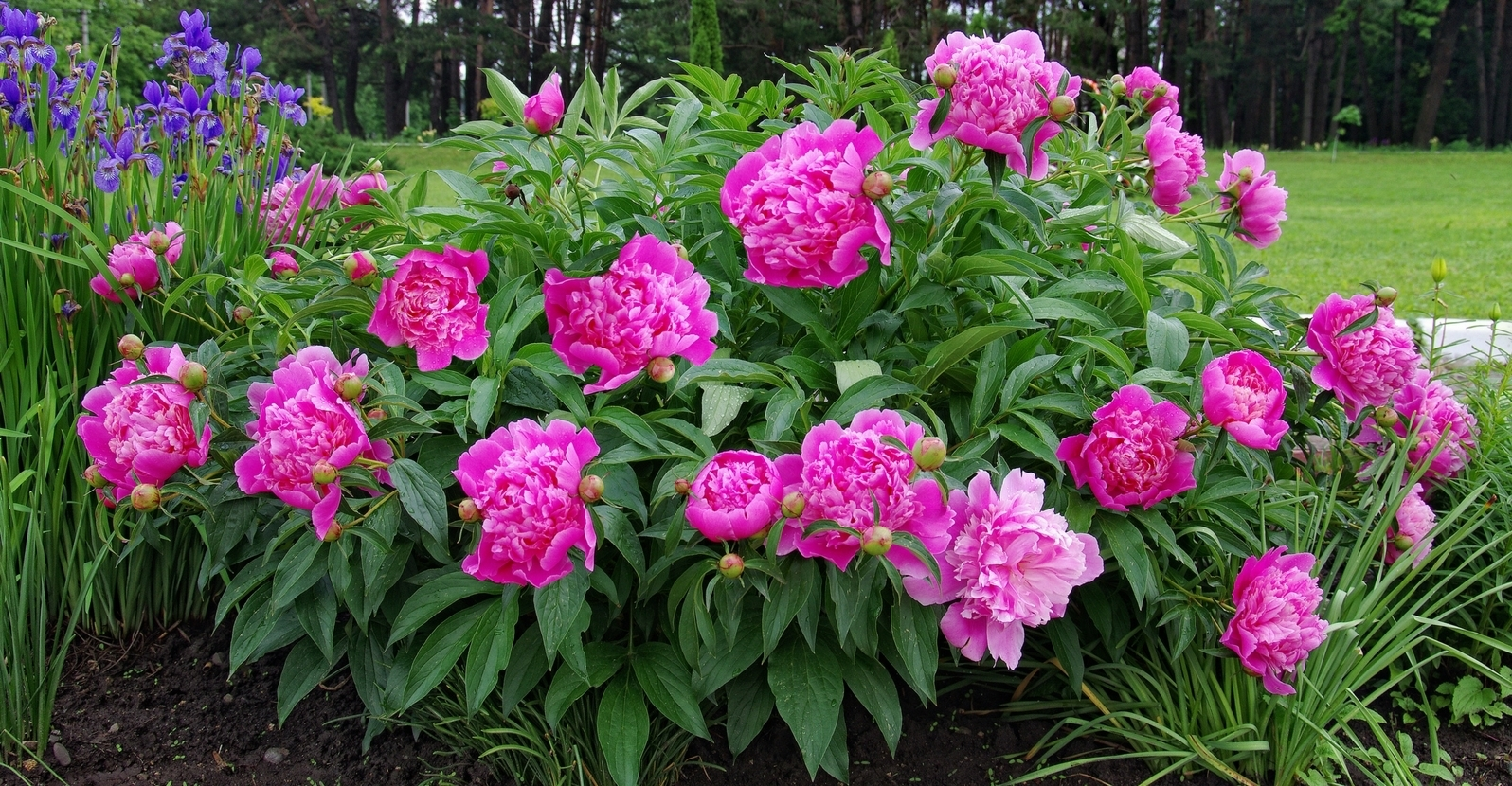 Get to Know Peonies