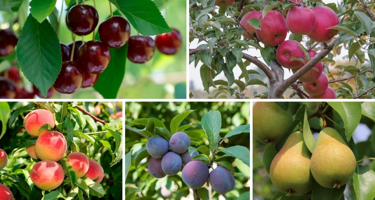 Fruits for home orchards