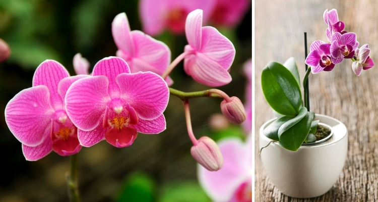 Blooming Phalaenopsis Orchids, Mini Purple Orchid