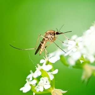 plants that naturally repel mosquitoes