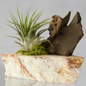 Tillandsia Air Plant Mounted on Stone