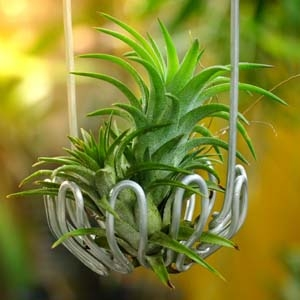 Tillandsia Air Plant with Wire Hanger