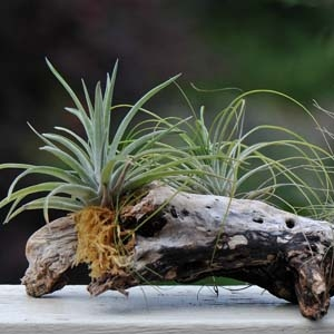 Tillandsia Air Plants Mounted on Wood