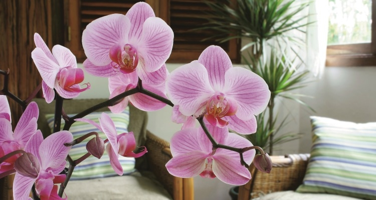 Phalaenopsis species, Moth Orchid
