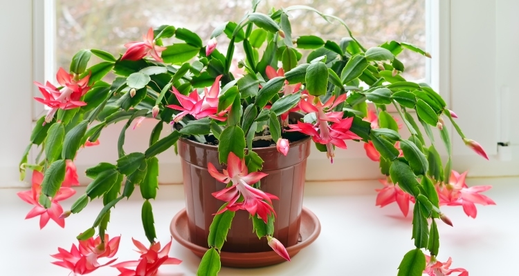 Schlumbergera species, Christmas Cactus