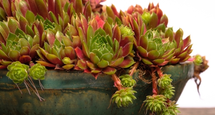 Sempervivum, Hens and chicks