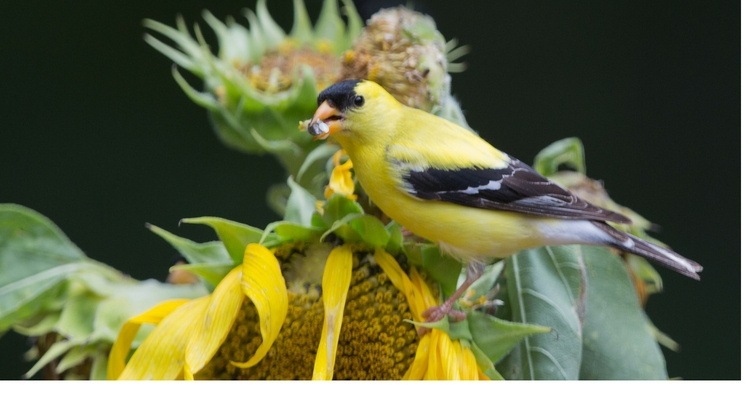 Goldfinch eating seeds on a sunflower.