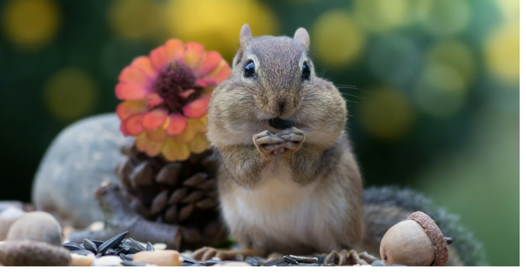 Chipmunk eating sunflower seeds.