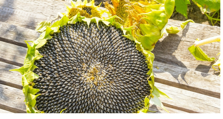 Sunflowers with seeds ready to harvest.