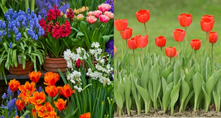 Spring Bulbs in Containers and Red Tulips in the Garden