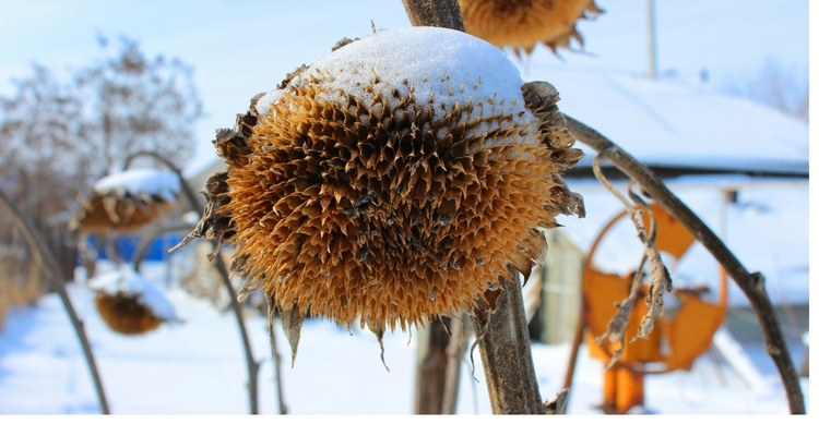Dried sunflower plant in a snowy winter setting.