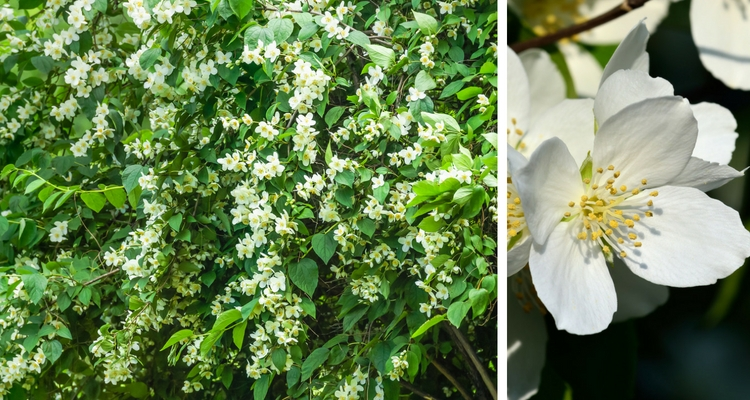 10 Shrubs That Smell As Good They