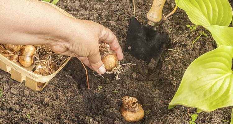 Planting Daffodil Bulbs in the Garden