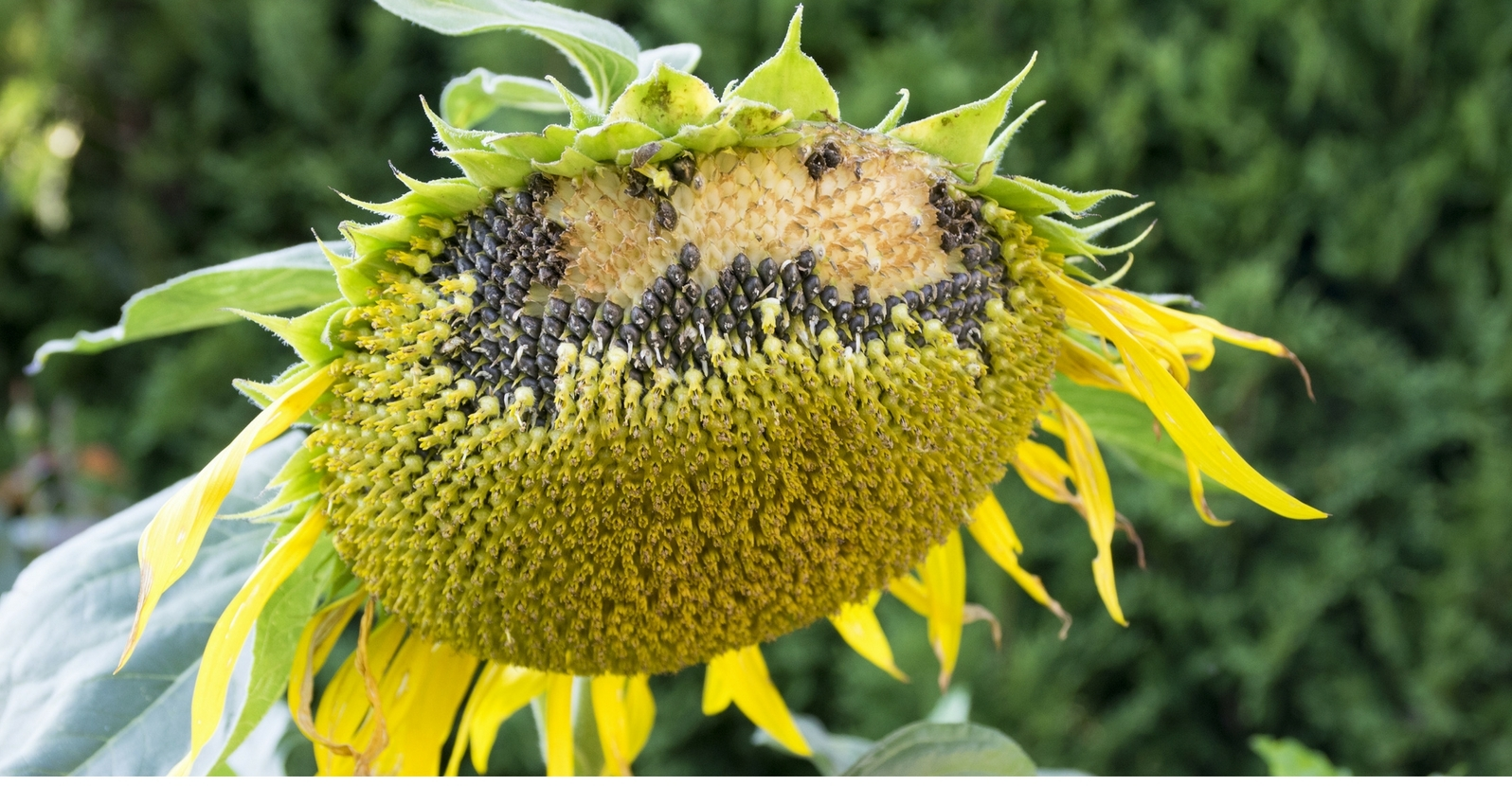 When And How To Harvest Sunflower Seeds My Garden Life