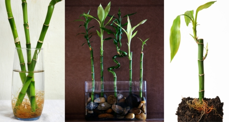 Lucky Bamboo in Water, Lucky Bamboo Growing in Stones, Lucky Bamboo Planted in Soil