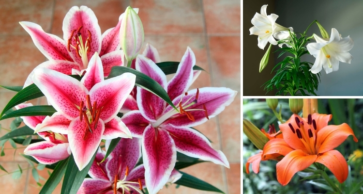 Get To Know Lilies My Garden Life