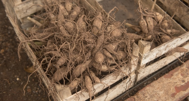 Digging And Storing Dahlia Tubers My Garden Life