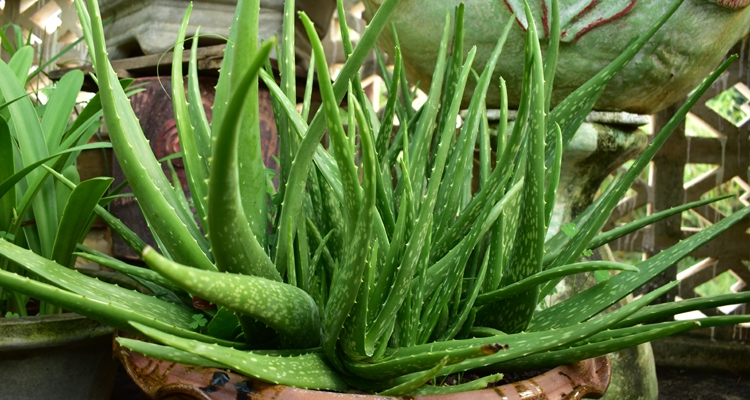 Aloe vera plant growing in a container