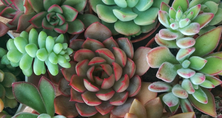 Mix of echeveria plant types and colors