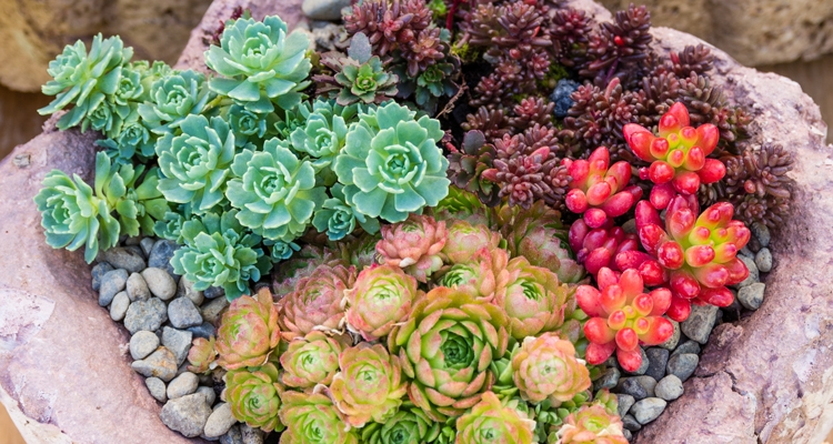 Green, chartreuse, bright red and burgundy succulents in a shallow stone container_Sedum and sempervivum