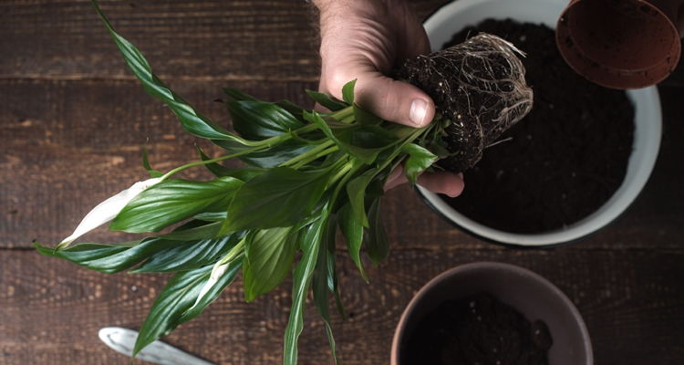 Repotting a Peace Lily_hand pulling peace lily from plastic pot to plant in a larger decorative pot