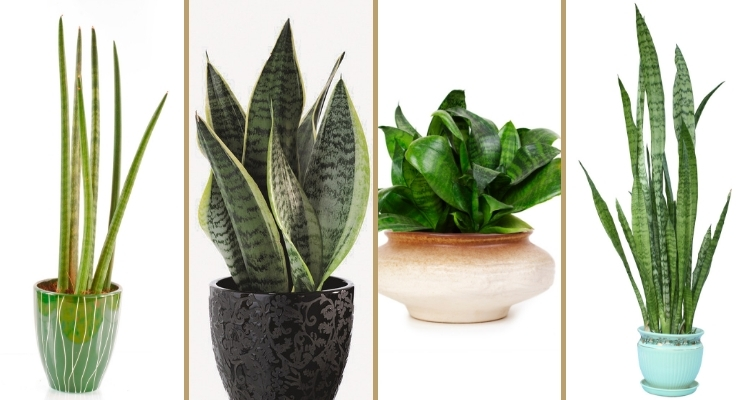 4 Types of Snake Plant, Mother-in-law's Tongue (Sansevieria species)