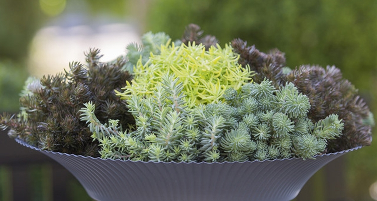 Different colors of sedum hakoense_rupestre, including blue green, bronze and chartreuse