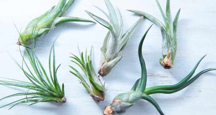 Different types of Tillandsia species air plants laying on white background