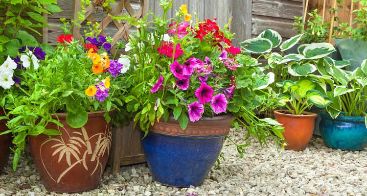 Assorted decorative clay pots with purple petunias and hosta