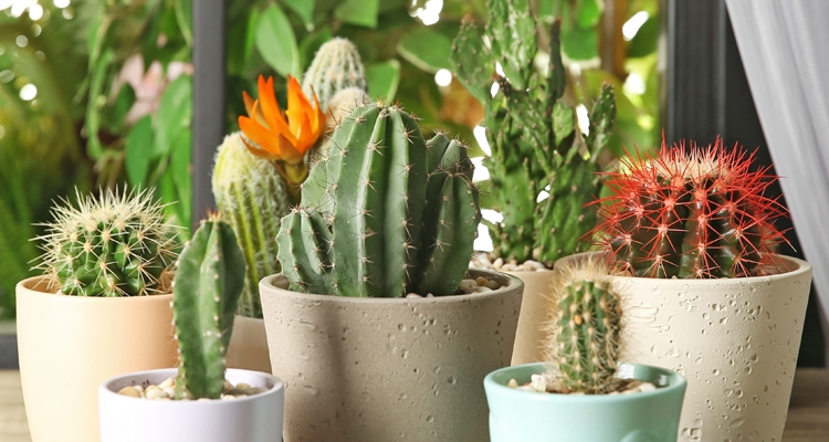 7 Potted Cacti in Windowsill