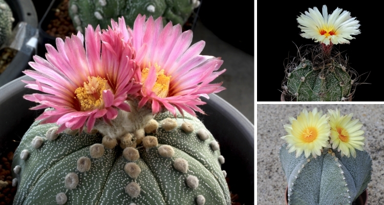 Astrophytum, 3 Types of Cactus with Pink, Pale Yellow and Bright Yellow Flowers