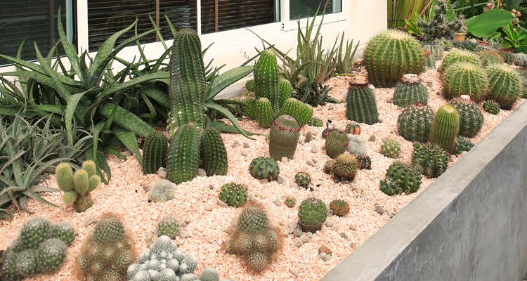 Cacti Growing Outdoors in Raised Planter
