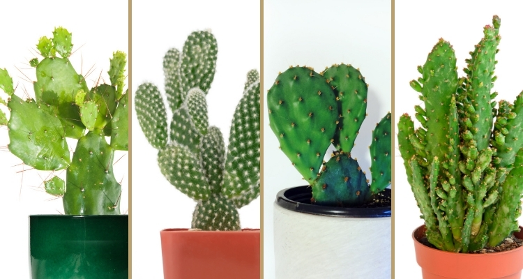 4 Types of Opuntia Cacti Growing in Pots