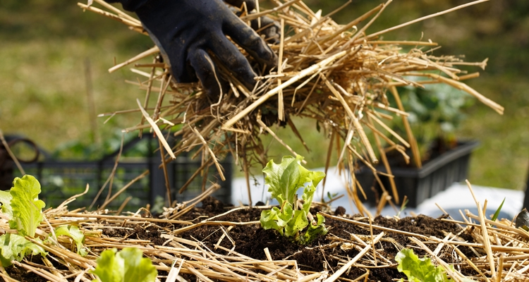 Applying a straw mulch to a vegetable garden
