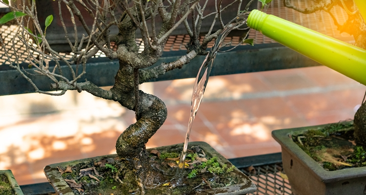 How To Care For A New Bonsai Tree My Garden Life