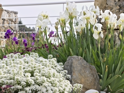 Beautiful spring garden with iris, iberis, and other spring blooming perennial plants