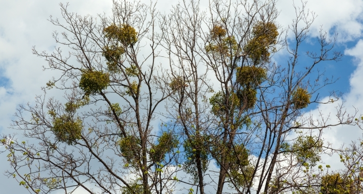 mistletoe plants growing in trees