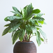 Aglaonema - Chinese evergreen