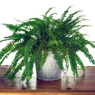 Indoor fern