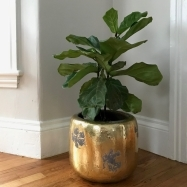 Ficus - Fiddle Leaf Fig