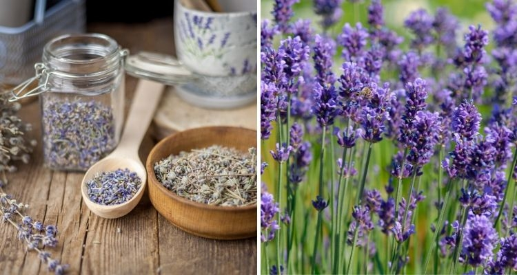 Lavender plant and dried lavender