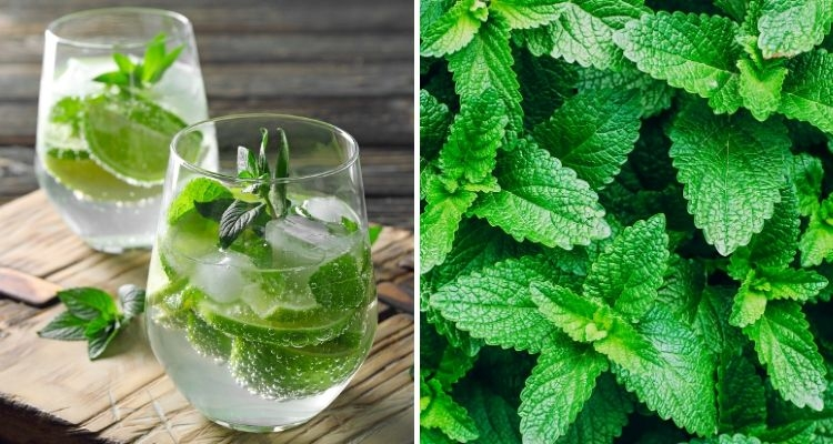 Mint plant and cold beverage with mint leaves