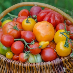 Basket Full of Red, Yellow, Orange Tomatoes of Different Sizes